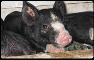 霧島黒豚の仔豚