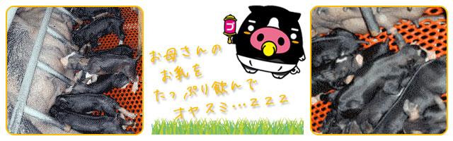 霧島黒豚の飼育‐コミュニケーション