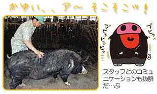 霧島黒豚と飼育スタッフのコミュニケーション