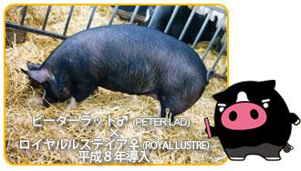 霧島黒豚のご先祖はイギリス原産のバークシャー種